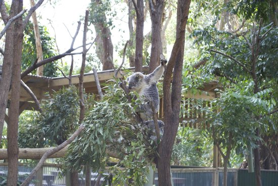 Currumbin Wildlife Sanctuary: Koala hanged