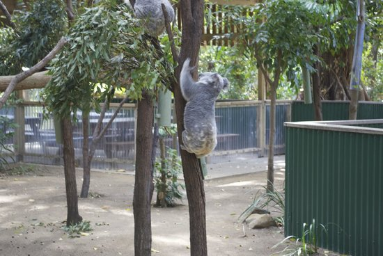 ‪‪Currumbin Wildlife Sanctuary‬: Koalas‬