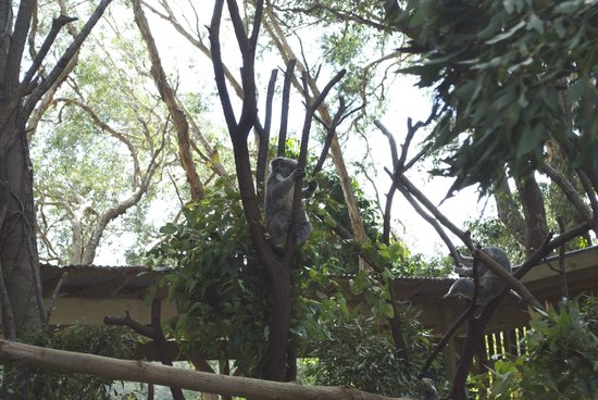 Currumbin Wildlife Sanctuary: Koala