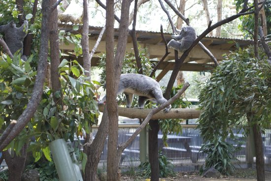 Currumbin Wildlife Sanctuary: Koalas
