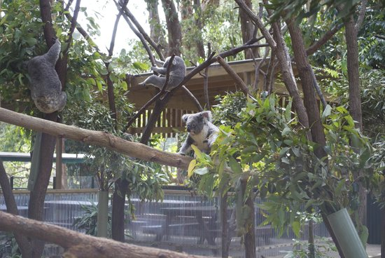 Currumbin Wildlife Sanctuary: some koalas