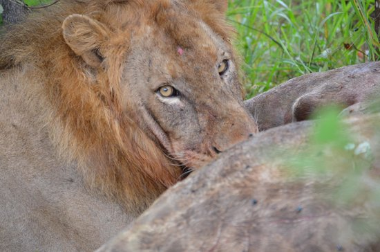 Naledi Bushcamp and Enkoveni Camp:                   Lion with Kill