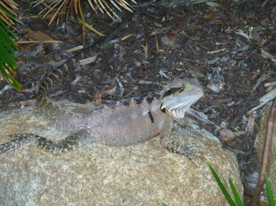 Surfers Paradise Marriott Resort & Spa:                                     Water Dragon in the garden by the pools