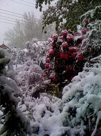 Govetts Leap:                                     spring snows on Rhododendrons,Blackheath
