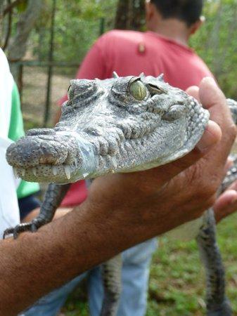BioParque Rocazul:                   cuban crocodile