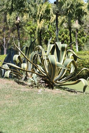 Royal Decameron Golf, Beach Resort & Villas:                   Some kind of plant, looks like an octopus so I call it the Octopus Plant