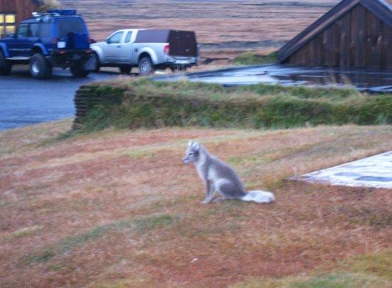 Fjalladyrd:                   Friendly silver fox