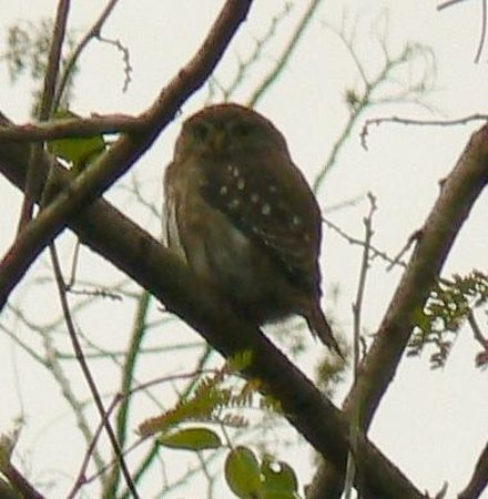 Hacienda Chichen:                   a little owl at 4pm