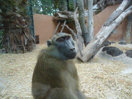 Fuerteventura, Spanien:                   scimmia