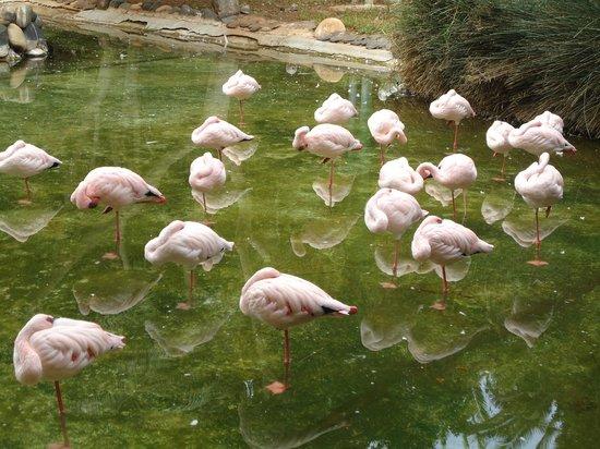 Fuerteventura, Spanien:                   fenicotteri rosa