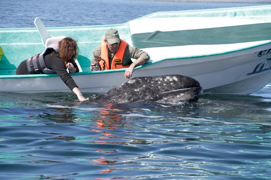 Magdalena Bay Whales: Playing with 2 week old    Nicolas    Tha Baby whale
