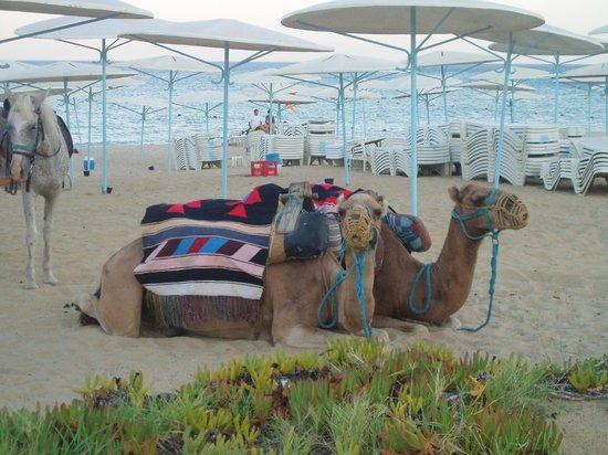 El Mouradi Hammamet:                   camelos