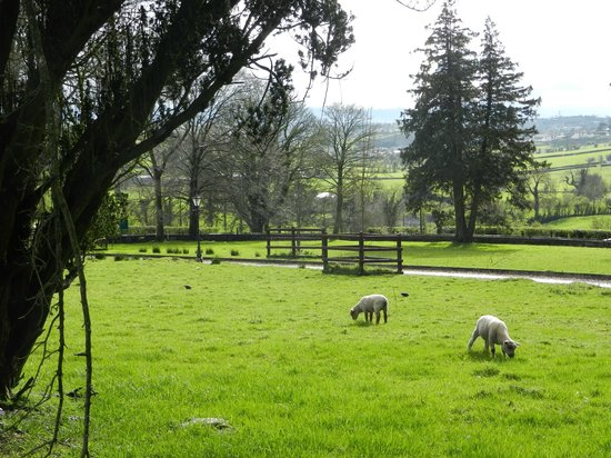 Dundrum House:                   Friendly little lambs