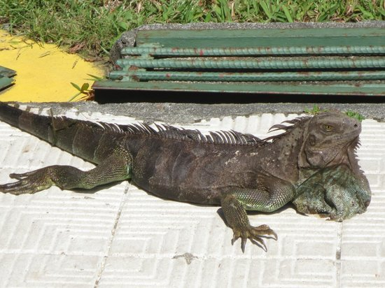 Beach Break Resort:                   iguane devant la chambre