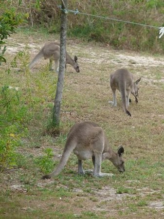Noosa North Shore Beach Campground:                   kangaroos grazing in the campground