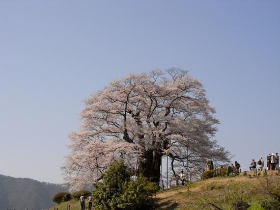 Maniwa, Japan:                   見事な一本桜