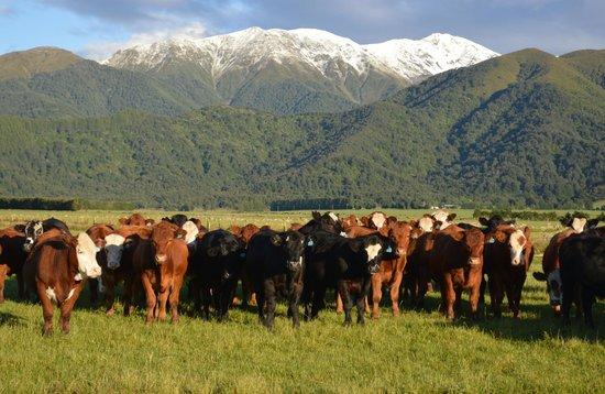 Glenview Farmstay:                   Happy cows...