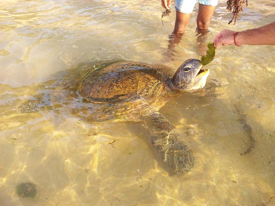 Hikkaduwa, Sri Lanka : Green Turtule near shore