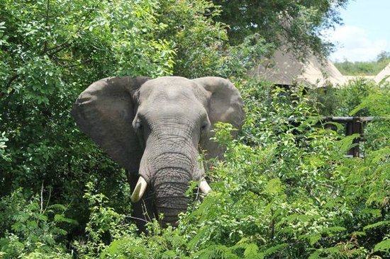 Hamiltons Tented Safari Camp: elephant at main lodge