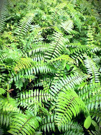 The Southern Ridges: Ferns spotted along the way..