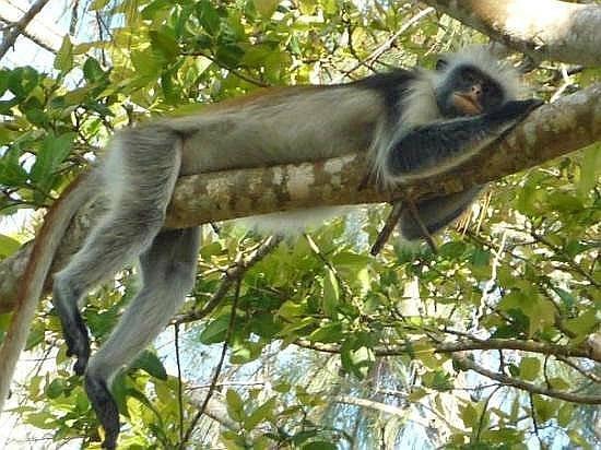 Spice Island Hotel & Resort Zanzibar: Colubus Monkey at Jozani National Forest