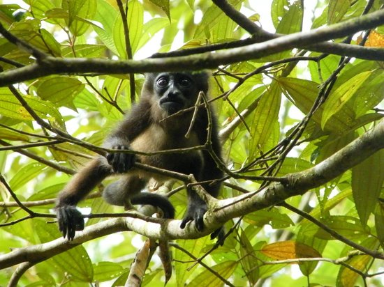 Pachira Lodge:                   Baby howler monkey in the hotel grounds