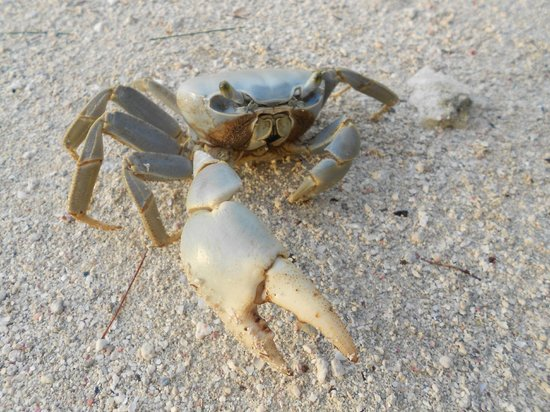 Fantasy Island Beach Resort:                                     crab on the beach
