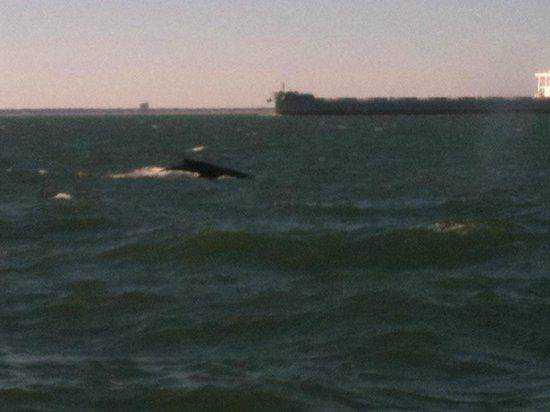 Rudee Flipper: Humpback Whale near the boat