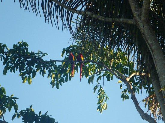 Lapa Rios Ecolodge Osa Peninsula:                                     Macaws