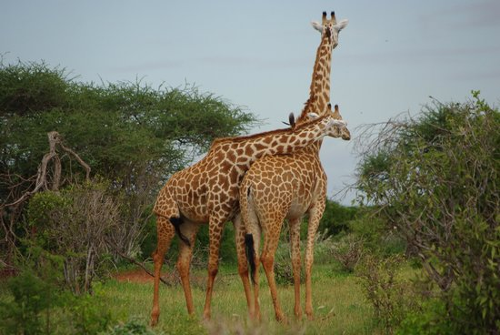 Garoda Resort:                   safari a Tsavo Est