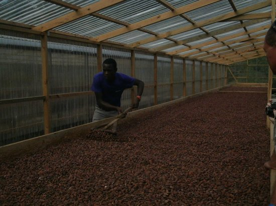 Belmont Estate:                   Cocoa Bean drying