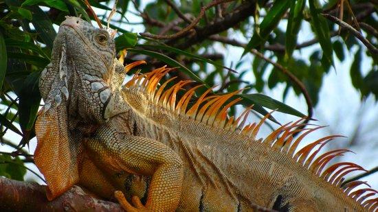 Casitas Tortugas:                   Iguana Antics