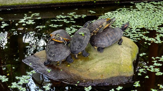 Casitas Tortugas:                   Resident turtles
