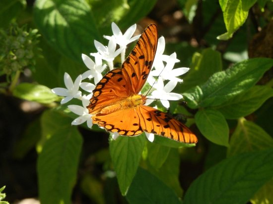 Paradisus Rio de Oro Resort & Spa: Gulf Fritillary (numerous butterflies in the well kept grounds)