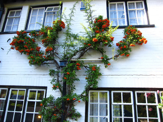 White Lodge Guest House:                   A fine pyracantha growing up the wall