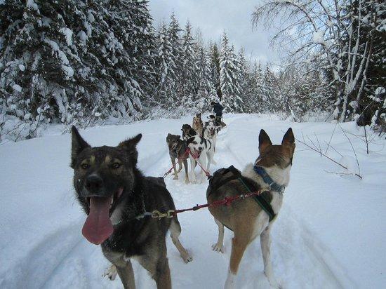 Revelstoke Dogsled Adventures:                   Dog team taking a break.