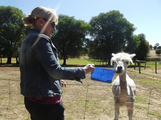 Diamond Forest Cottages:                                     Feeding the alpaca