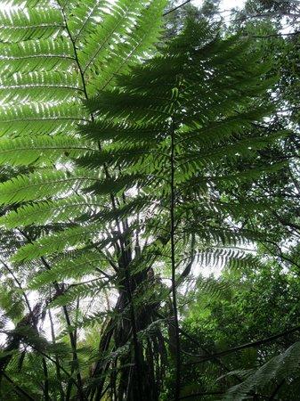 Waitangi Treaty Grounds: The beautiful fern tree