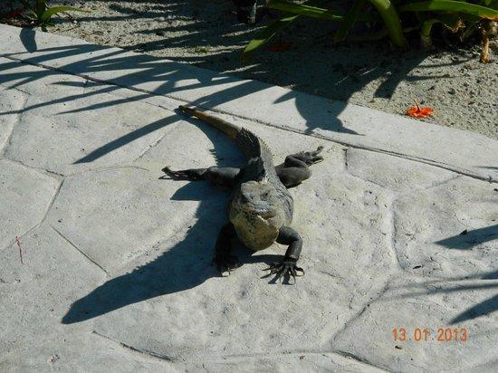 Valentin Imperial Maya: iguane