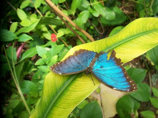 The Butterfly and Orchid Garden :                   Beautiful blue....