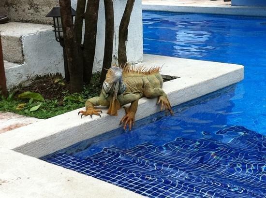 Mawamba Lodge: Iguane au bord de la piscine!