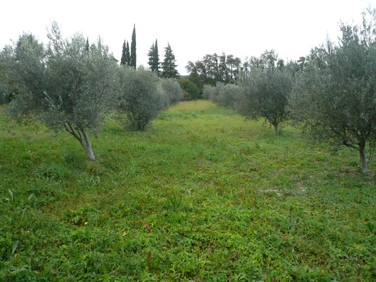 Mas D'Arvieux: olives around b/b