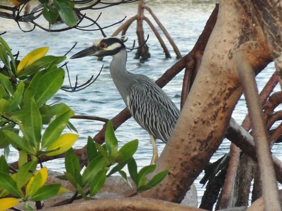Hatchet Caye Resort:                   The yellow-crowned night heron