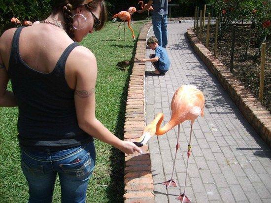 Sarasota Jungle Gardens: Hand Feeding The Flamingos