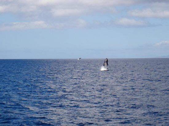 Pacific Whale Foundation: Whales were absolutely everywhere