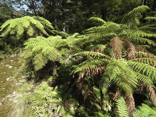 Wilsons Abel Tasman: Tree ferns