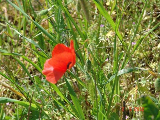 Les Terrasses du Luberon: Luberon scarlet poppy