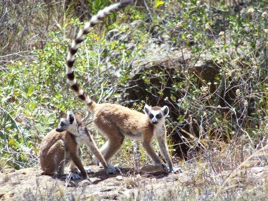 Le Jardin du Roy :                   Lemuren im Isalo-Gebirge
