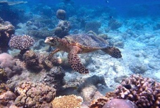 Six Senses Laamu: Snorkeling : Turtle at the reef