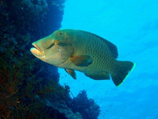 Elphinstone Reef : Huge resident Napoleon fish